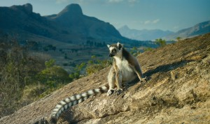 A ring-tailed lemur in the Anja Reserve on Madagascar in the documentary ISLAND OF LEMURS: MADAGASCAR. ©Warner Bros. Entertainment.