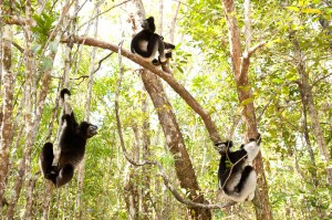 Indri lemurs are great leapers and can jump from tree to tree in the forest as seen in ISLAND OF LEMURS: MADAGASCAR. ©Warner Bros. Entertainment. CR: Drew Fellman.