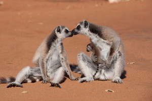 Ring-tailed lemurs spend time on the ground than any other lemurs as seen in ISLAND OF LEMURS: MADAGASCAR. ©Warner Bros. Entertainment.